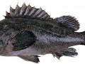 日照特产-黑头鱼