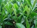 日照特产-绿茶